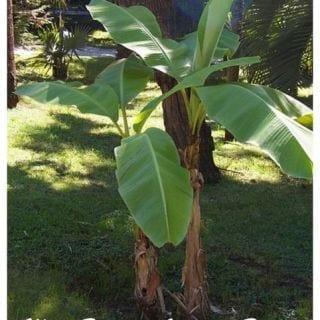 Contemporary Gardens: Musa Basjoo Hardy Banana Plant