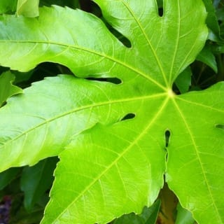 Contemporary Gardens: The Jungle Plant Fatsia Japonica – Japanese Aralia