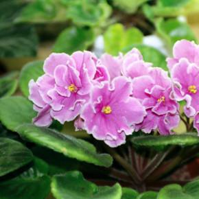 Easy to Grow Indoor Flowering Plants